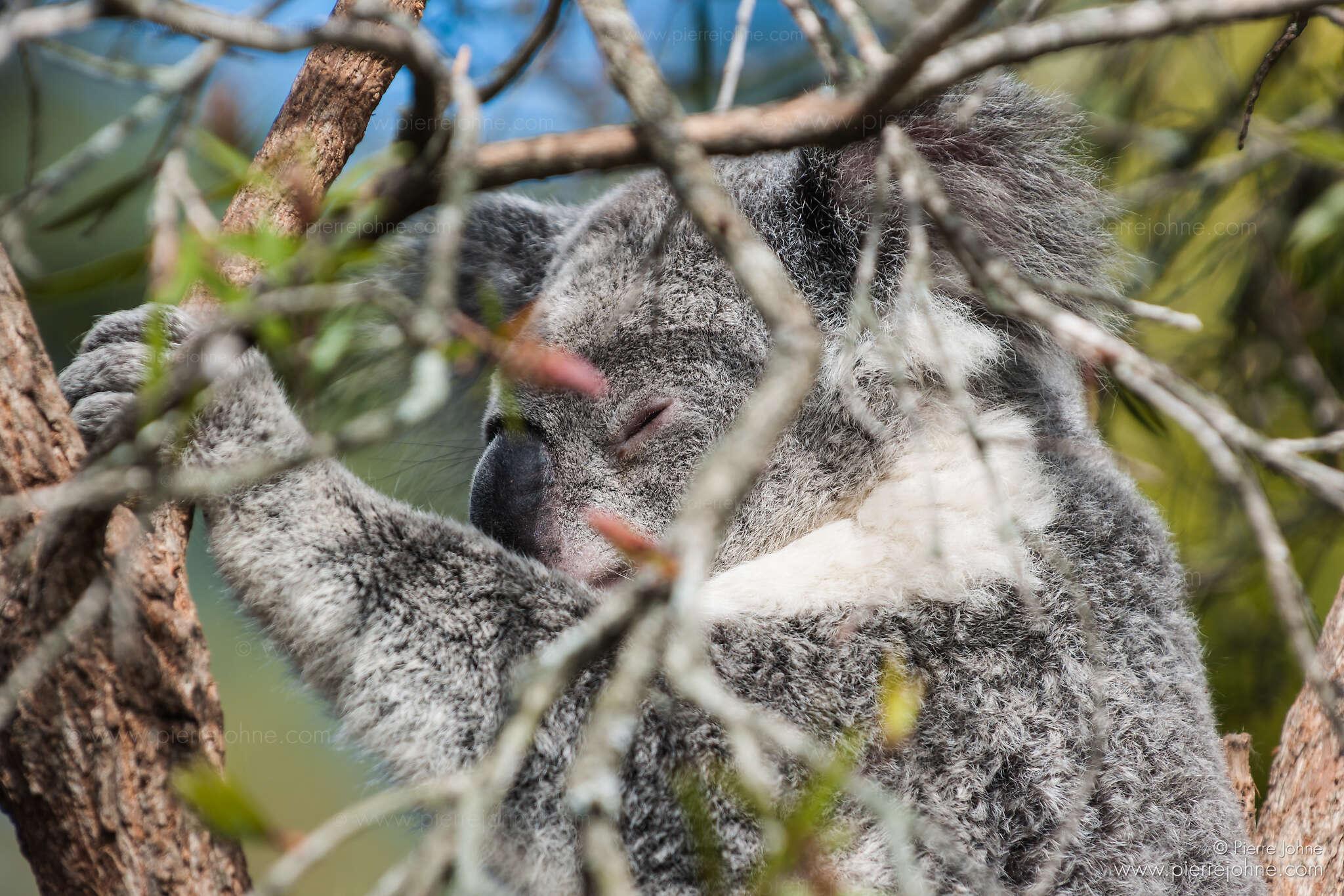 Koala, Hellensburgh, Australia